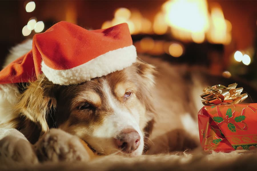 Top 5 Christmas Holiday Pet Hazards
